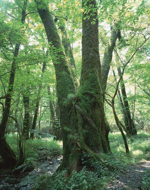 ヌル谷のナロのモモクサの大木