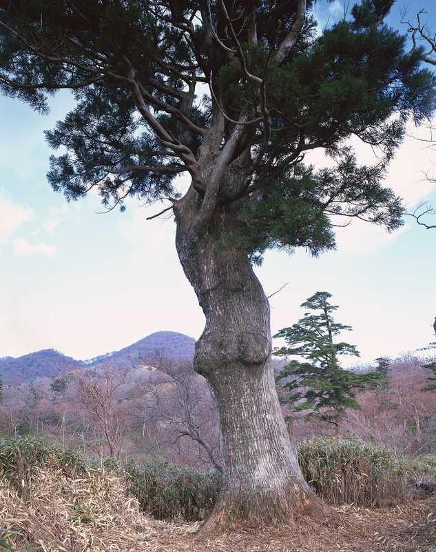 鬼の目杉の画像