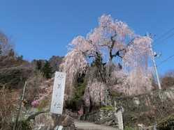 妙義神社しだれ桜の画像