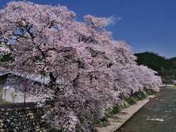 美甘宿場桜の画像