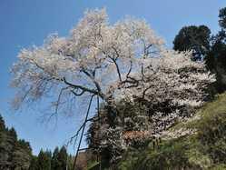 岩井畝の大桜の画像