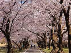 赤城南面千本桜の画像