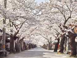 がいせん桜の画像