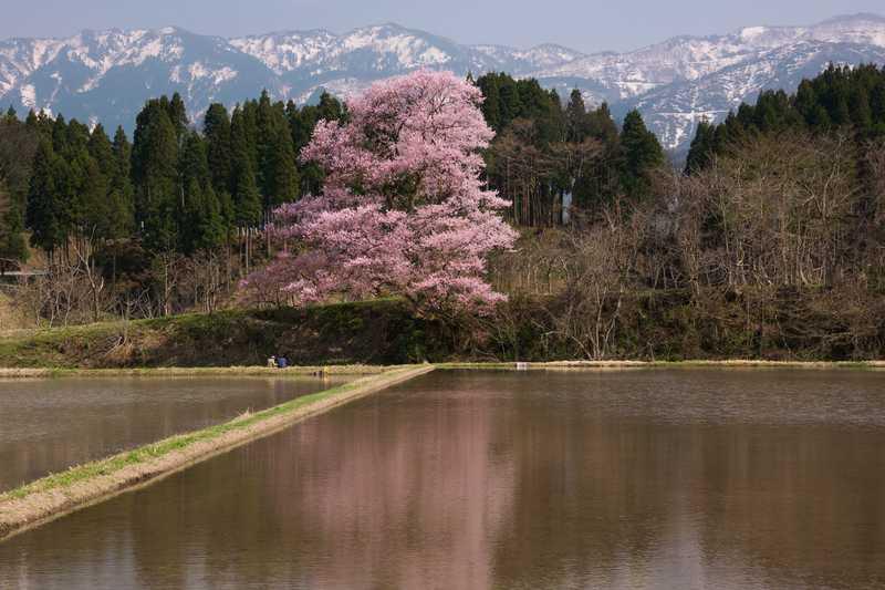 向野の桜の画像
