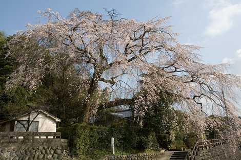 大原大しだれ桜(中津・日田/名所・観光地等)の施設情報 | いつもNAVI