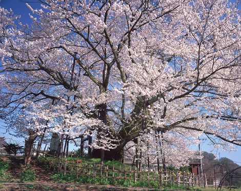 素桜神社の神代桜(長野/花の名...