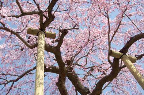 三春滝桜の画像