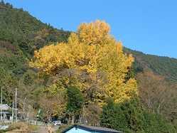 本妙寺の大イチョウ